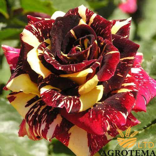 Троянда чайно-гібридна Абракадабра