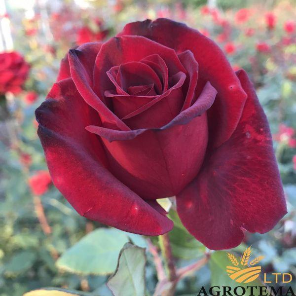 Роза чайно-гибридная Блек Меджик (Black magic)
