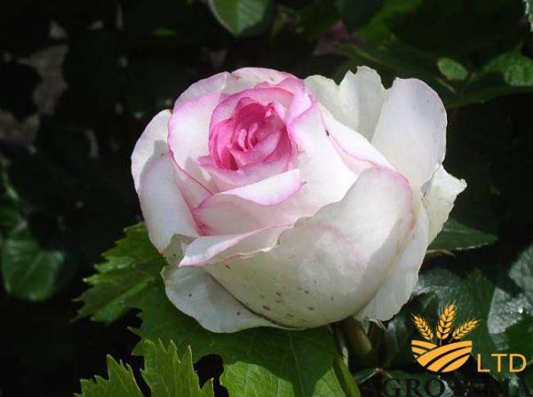 Роза чайно-гибридная Дольче Вита (Dolce Vita)