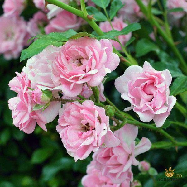 Роза почвопокровная Фейри