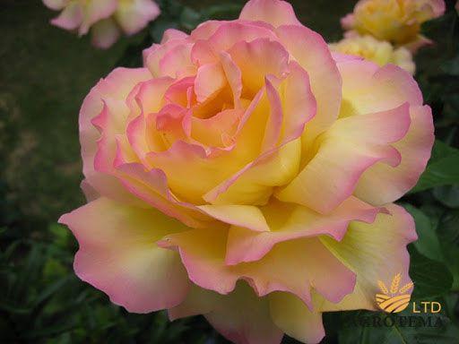 Роза чайно-гибридная Глория Дей (Gloria day)