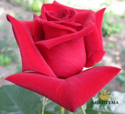 Роза чайно-гибридная Мадам Дельбар