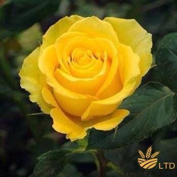 Роза чайно-гибридная Папилон