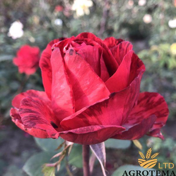 Троянда чайно-гібридна Ред Інтуішн (Red Intuition)