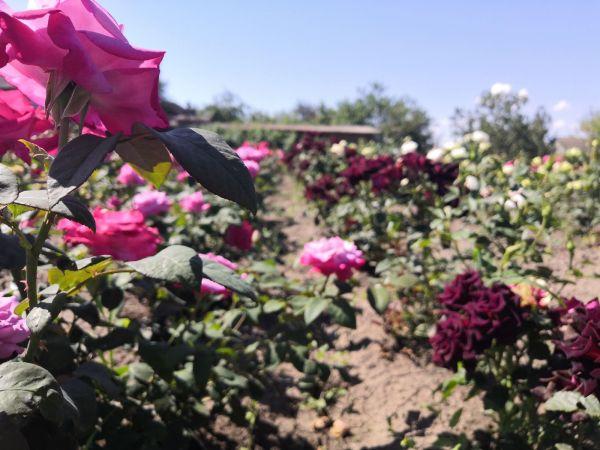 Роза чайно-гибирдная Высоцкого